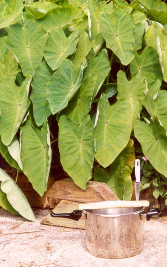 taro-leaves-harvest-setup-0.jpg