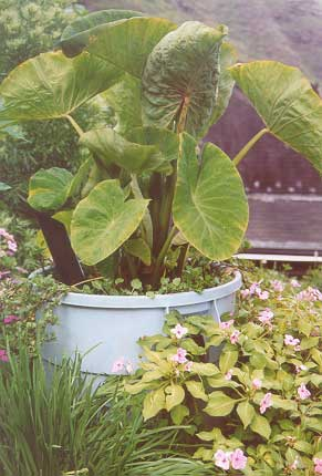 picture of a taro plant growing in a trash can